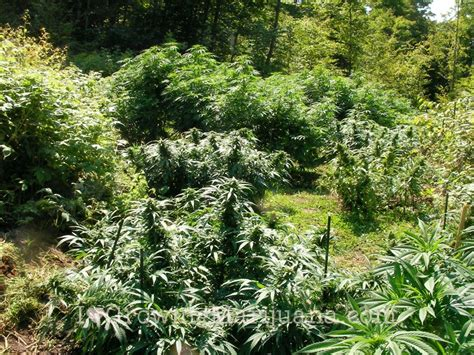 Grow Outdoor Marijuana   Get Thriving Plants