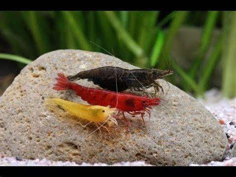 Hablemos de Gambas Neocaridinas en Natural-Shrimps - YouTube