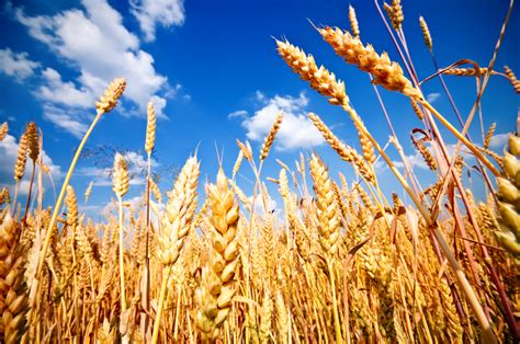 Half of winter wheat acreage yet to be cut - Teagasc ...