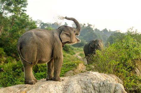 Hanno ucciso Yongki, l'elefante ranger più famoso dell ...