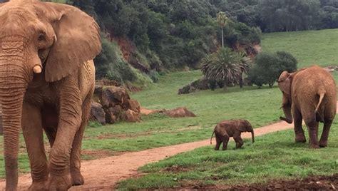 HAZTE ECO | Nace un nuevo elefante africano en el Parque ...