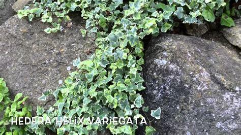 Hedera helix variegata. Garden Center online Costa Brava ...