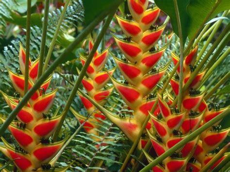 Heliconias: llamaradas de la selva | Plantas