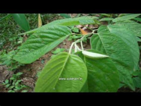 Herbal Medicine   Desmodium gangeticum   Natural Cardio ...