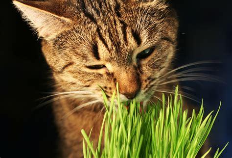 Herbes à chat dépurative et euphorisante : bien les ...