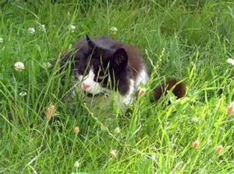 Hierba gatera purgante para gatos - Tiendanimal