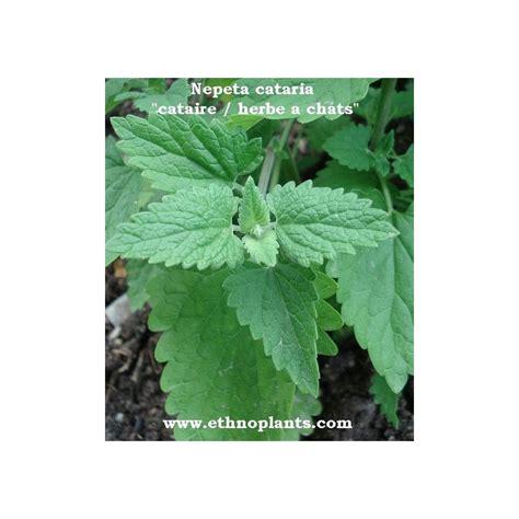 Hierba Gatera, semillas de Nepeta cataria para comprar