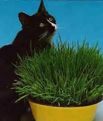 Hierba para gatos, cuidados y consejos   Tendenzias.com