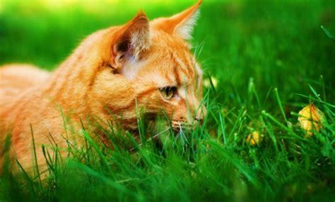 Hierba para gatos   MundoMascotas.info