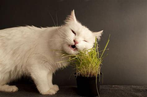 Hierba para gatos ¿ Para qué sirve