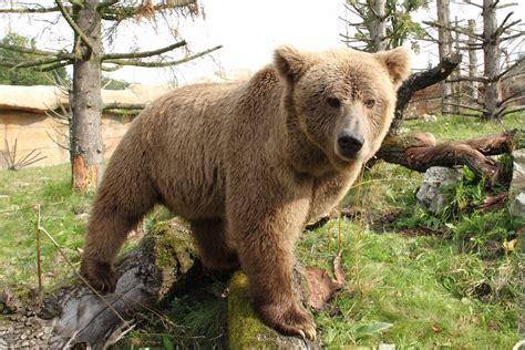 Himalayan brown bear   Wikipedia
