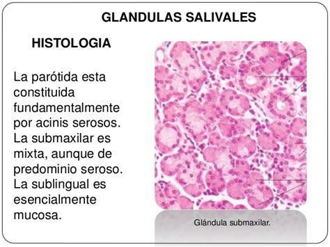 Histologia de glandulas salivales