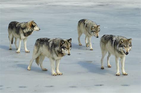 Historia de un Lobo « Cuentos Cortos