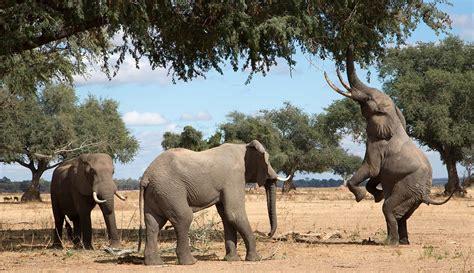 Hombre muere aplastado al querer cazar a elefante