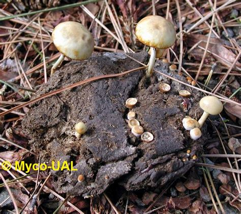 Hongos agaricoideos: Agaricales
