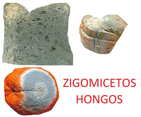 HONGOS ZIGOMICETOS O ZYGOMYCOTAS   Enciclopedia de Tareas