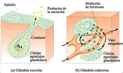 Hormonas: sistema endocrino