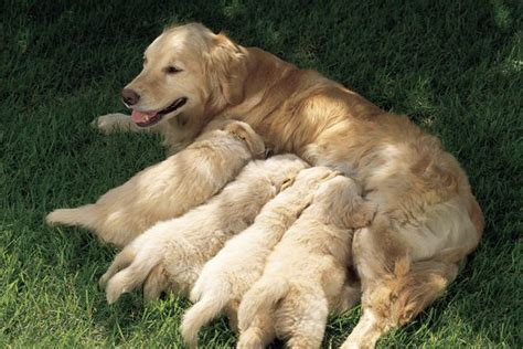 How Do Mother Dogs Show Affection to Puppies?   Pets