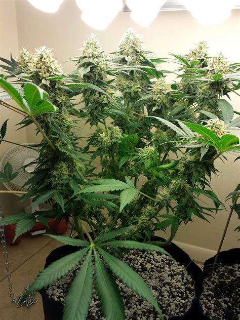 How Far Away Do I Keep Grow Lights From Cannabis Plants ...