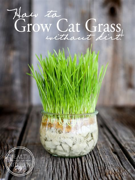 How to Grow Cat Grass {without dirt}   Health Starts in ...
