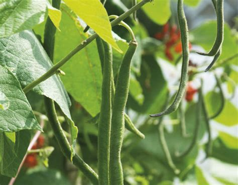 How to Grow French Beans - Garden - GRIT Magazine