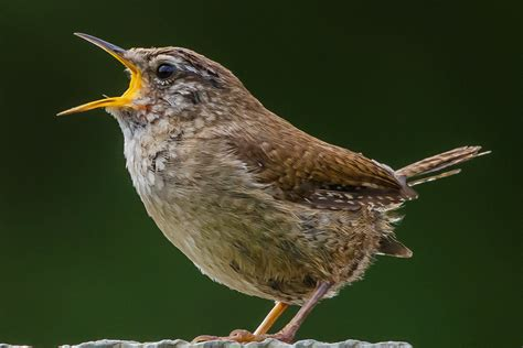 How to Listen to Birds for Easy Identification