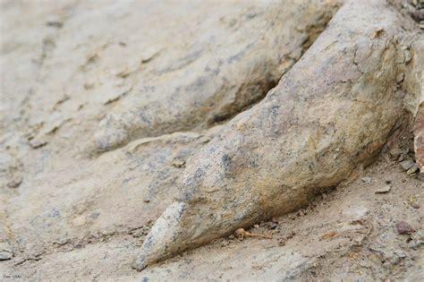 Huellas de dinosaurio del yacimiento de Costalomo, en ...