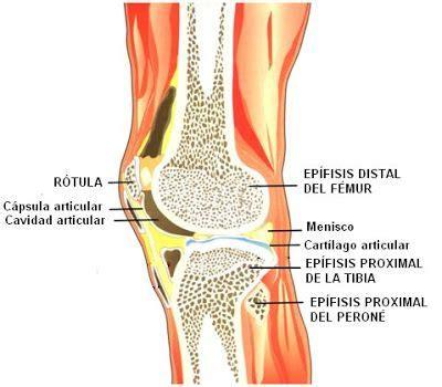 huesos que conforman la articulación de la rodilla con sus ...