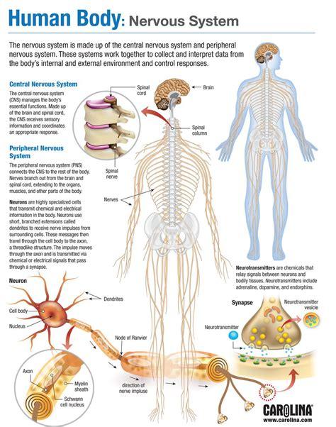 Human Body: Nervous System | Carolina.com