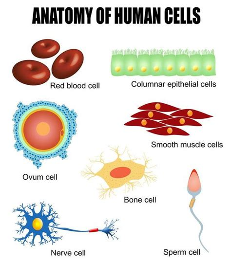 Human cells: different types of cells found in our body # ...