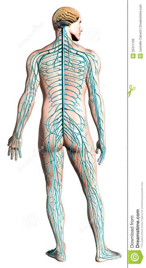 Human Nervous System Diagram. Royalty Free Stock Image ...