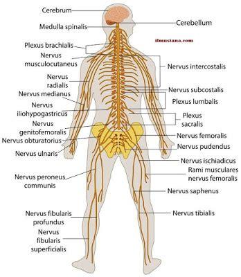 Human Nervous System - Ilmusiana