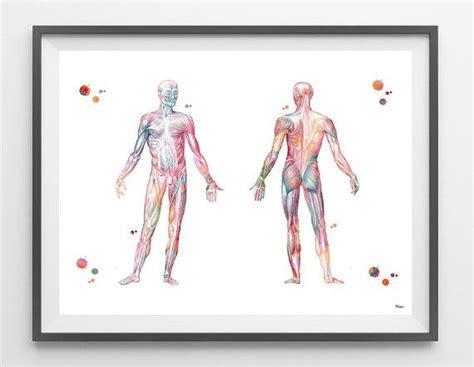 Humano cuerpo sistema muscular acuarela anatomía impresión ...