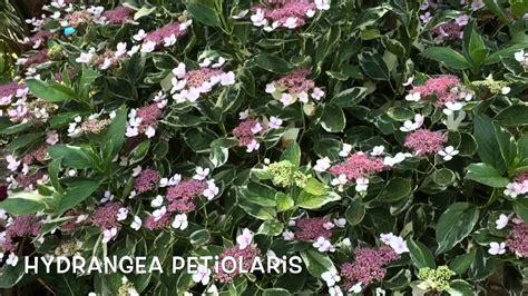 Hydrangea petiolaris. Garden Center online Costa Brava ...