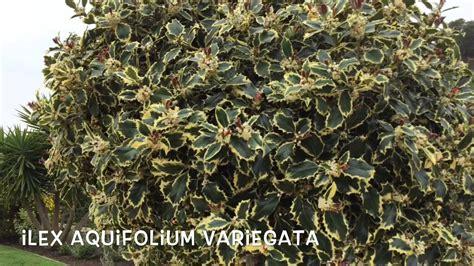 Ilex aquifolium variegata. Garden Center online Costa ...