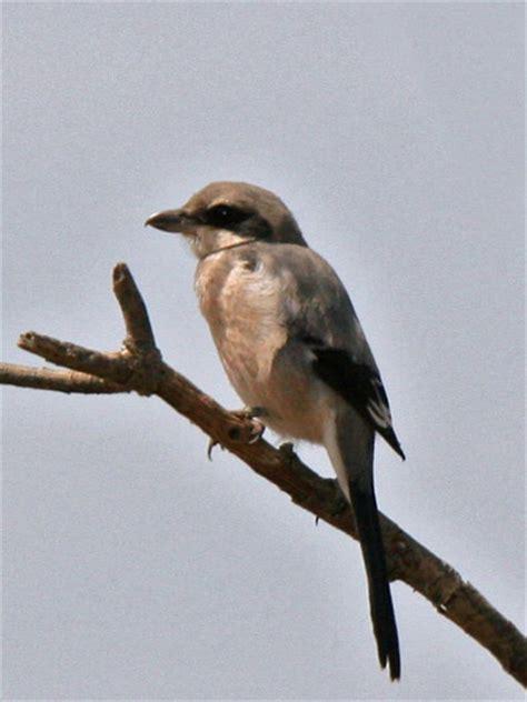 Image Gallery hawk identification spain