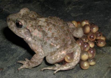 Image Gallery huevos anfibios