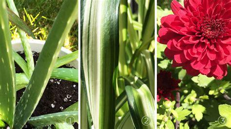 Image Gallery nasa chrysanthemum air