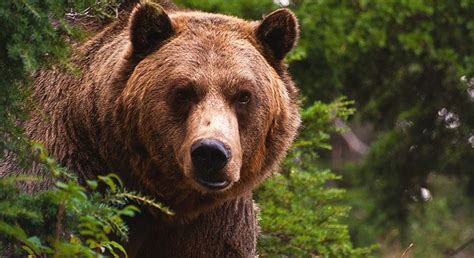Image Gallery oso grizzly