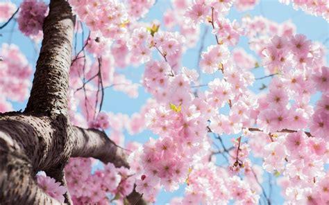 Imagen de Flores de cerezo para fondo de pantalla HD ...