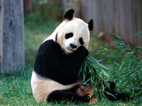 IMAGENES ANIMALES EN ALTA DEFINICION: IMAGEN OSO PANDA ...