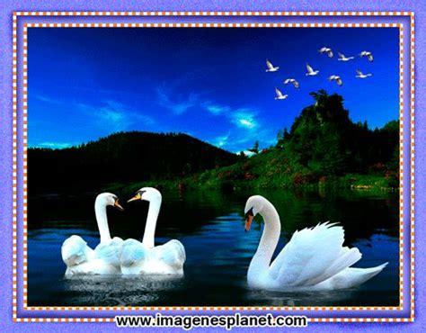 Imagenes bonitas animadas de cisnes en cuadro | Gif ...