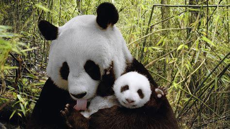 Imágenes de Osos Panda, fotos HD