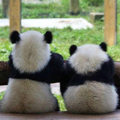 Imagenes de Osos Pandas   Fotografias — Oso panda   Fotos