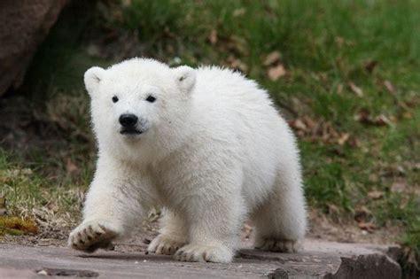 Imagenes de osos polares » OSOPOLARPEDIA