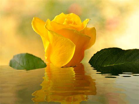 Imagenes de rosas amarillas animadas con agua en ...