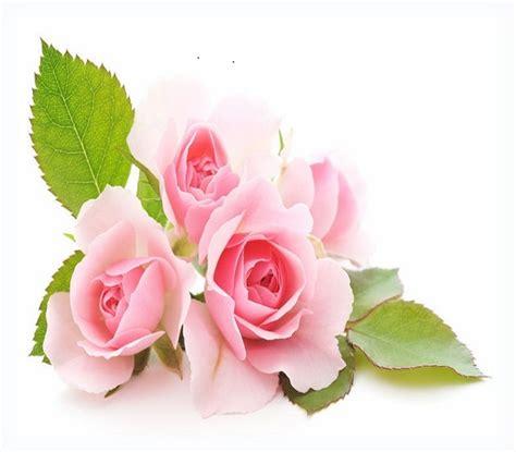 Imagenes De Rosas Hermosas Para Descargar Gratis   Las ...