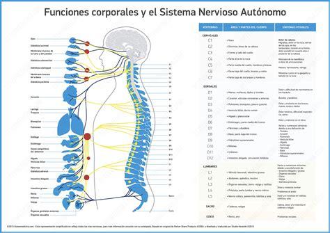 Imágenes de Sistema nervioso autónomo - Fotos de Sistema ...