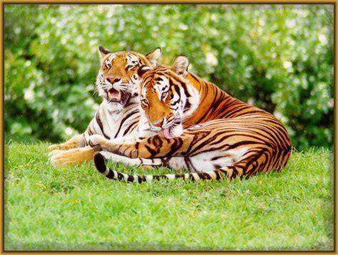 Imagenes de Tigres Enamorados en Bellísimas Fotografías ...