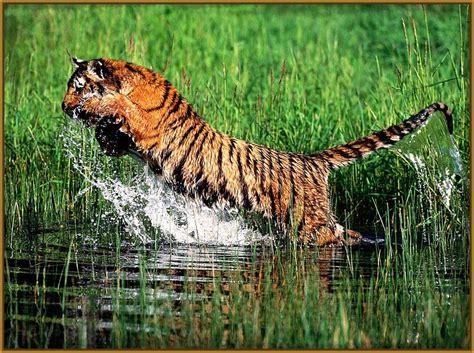 Imagenes de Tigres Salvajes Cazando Impresionantes | Fotos ...